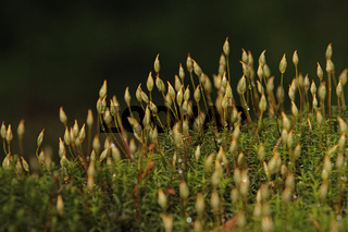 Frauenhaarmoos (Polytrichum commune)