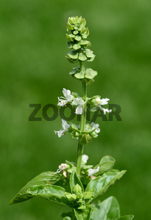 Basilikum, Ocimum, basilicum, Heilpflanze,