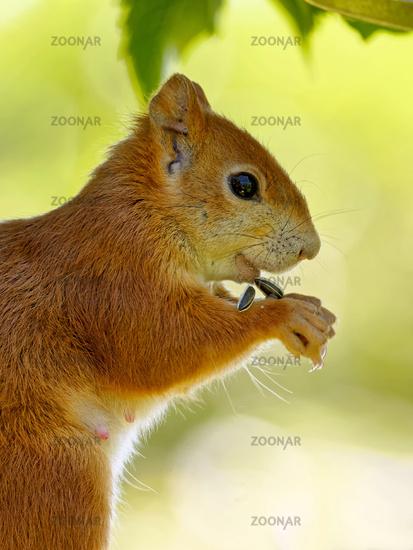 Squirrel eats bird food