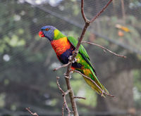 The pair of the rainbow lorikeet (Trichoglossus haematodus moluccanus)