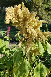 Fuchsschwanz, Amaranthus, Caudatus, Amarant