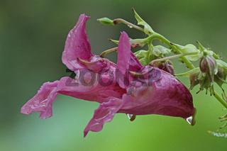 Druesiges Springkraut (Impatiens glandulifera)