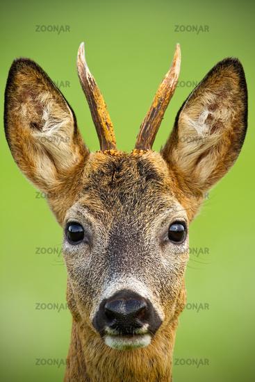 Portrait of cute roe deer, capreolus capreolus, buck in summer.