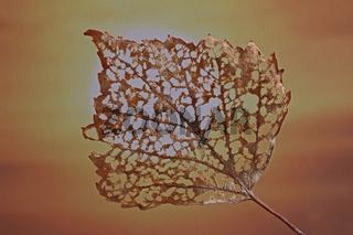 Altes Birkenblatt vor Sonne (Betula)