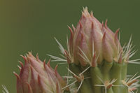 Blossom of a prickly pear cactus