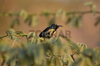 Purple sunbird, Cinnyris asiaticus, Ranthambore national park, Rajasthan, India.