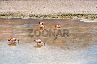 Flock of James Flamingos feeding in the Canapa Lake