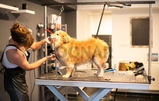 pet hairdresser woman cutting fur of cute yellow dog