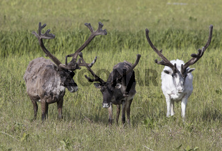 Three large reindeer males standing on a marshy tundra on a summer day