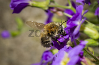 Pelzbiene, Anthophora plumipes, hairy-footed flower bee