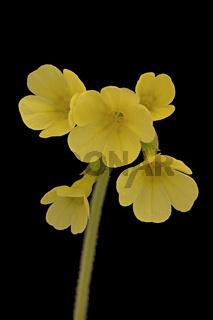 Hohe Schluesselblume (Primula elatior)