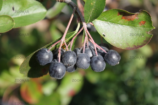 black-fruited apple-berry