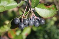 black-fruited apple-berry