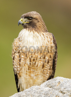 Red-tailed Hawk, Adult.
