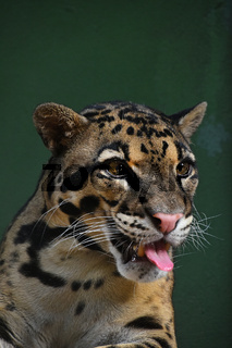 Close up portrait of clouded leopard