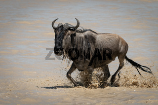 Blue wildebeest galloping through shallows in sunshine