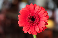 Single beautiful red gerbera