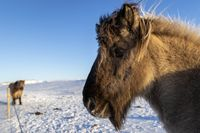 Side view of Icelandic horse in the snow