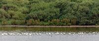 Eurasian spoonbills (Platalea leucorodia)