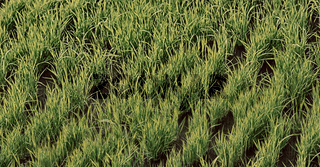 close up of a rice cereal cultivation field