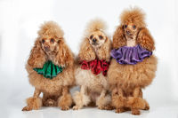 Three Poodles