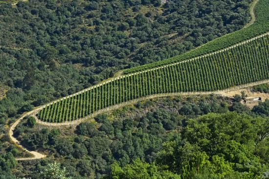 Tongue-shaped vineyard in the port wine region Alto Douro near Pinhao, Douro Valley, Portugal