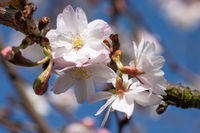 Higan cherry, Prunus subhirtella