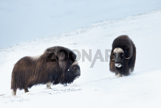Close up of two male Musk Oxen standing in snowy Dovrefjell mountains