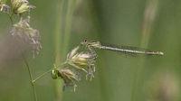 Platycnemis pennipes Damsfly