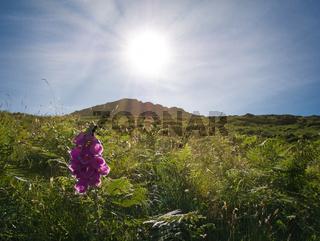 Lila Blume mitten in der Wiese mit Sonnenstrahlen