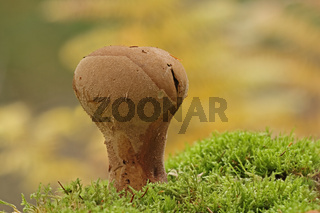 Hasen-Staeubling (Lycoperdon utriforme)