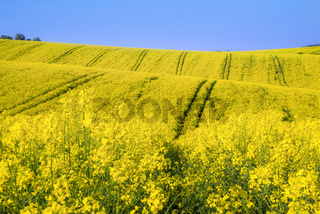 Curved hills with yellow rapeseed culture