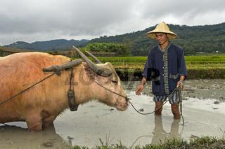 Reisfarmer und Wasserbüffel stehen in einem Reisfeld knietief im Schlamm, Luang Prabang, Laos