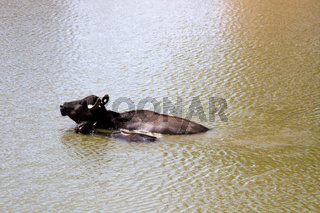 Water Buffalo in the muddy Indian river