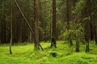 Coniferous trees on mossed forest soil, Frankenalb, Franconia, Bavaria