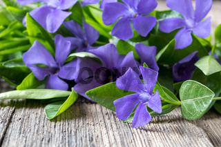 Fresh vinca minor plant on a table
