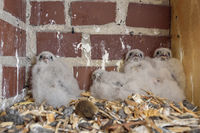 Kestrel * Falco tinnunculus *, young chick in their nesting box