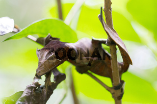 Uroplatus phantasticus, the satanic leaf-tailed gecko in Madagascar