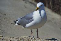 european herring gull on heligoland - island Dune