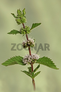 Minze (Mentha)