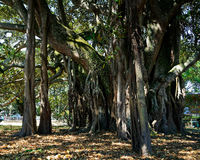 Albert the Banyan tree in Devonport, New Zealand.
