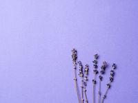 violet lavender flowers on bright purple background