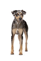 Louisiana Catahoula Leopard dog
