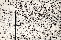 Flock of Starlings on a wire