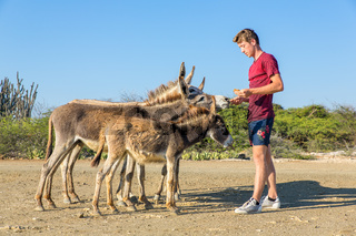 Young dutch man feeding group of donkeys