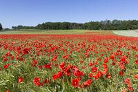 Blühendes Mohnfeld auf landwirtschaftlicher Fläche