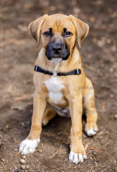 Rhodesian Ridgeback female puppy portrait.
