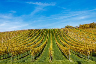 Autumnal view of vineyard in Vienna (Austria)
