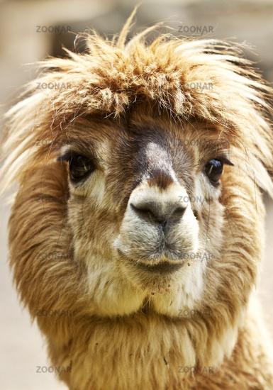alpaca (Lama guanacoef. paco, Lama pacos, Vicugna pacos), portrait, Dortmund, Germany, Europe