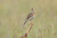 Skylark * Alauda arvensis * perched on top of a dry stem